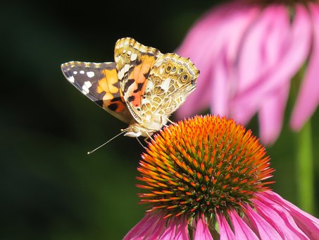 Beautiful, Butterfly, Flower, Echinacea, Plant, Insect