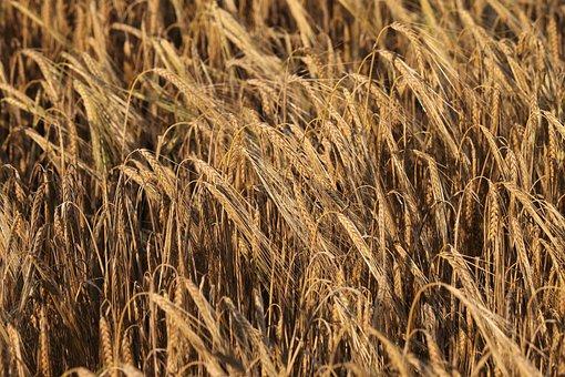 Barley, Before Harvest, Agriculture, Field, Rural, Food