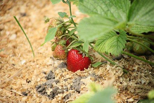 Strawberry, Berry, Ripe Strawberry, Red Strawberry