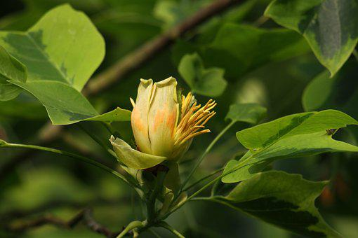 Flower, Tulip Tree, Yellow, Nature, Big Tree