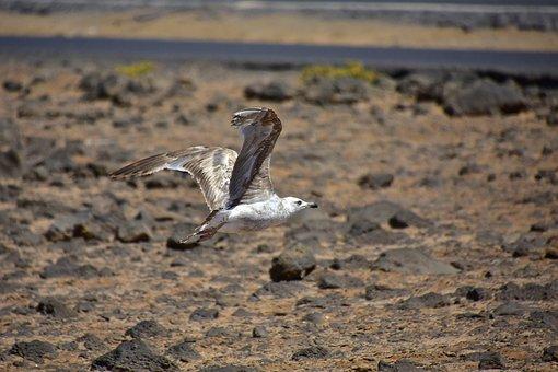 Birds, Seagull, Fuerteventura, Nature, Bird, Waterfowl