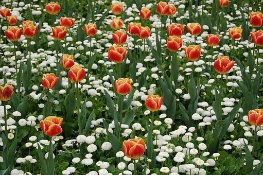 Tulip, Spring, Flower, Bloom, Red, Garden, Flora