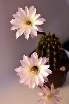 Cactus, Plant, Nature, Botanical, Garden, Cacti, Green