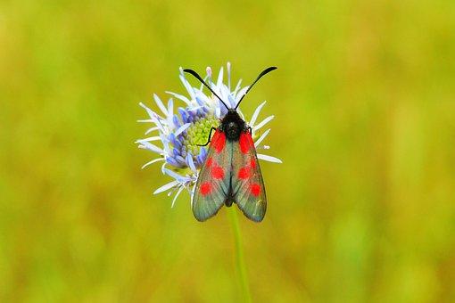 Kraśnik Pięcioplamek, Butterfly Day, Insect, Flower