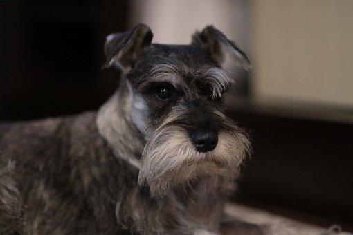 Dog, Schnauzer, Animal, Domestic, Cute, Canine