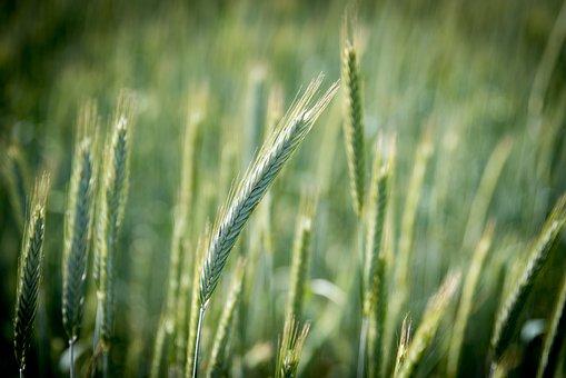 Rye, Cereals, Field, Ear, Nourishing Rye, Bread, Food