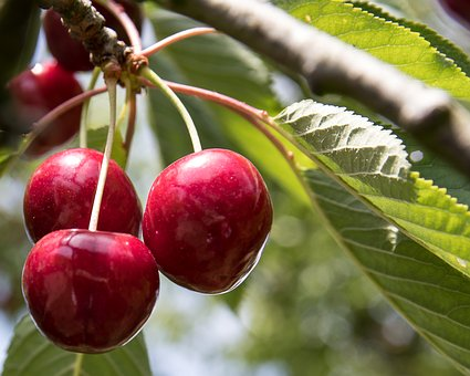 Cherries, Fruit, Fruits, Summer, Sweet Cherry, Garden