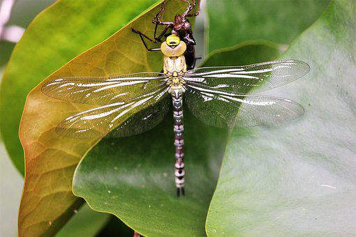 Dragonfly, Leaf, Insect, Close, Leaves, Animal, Green