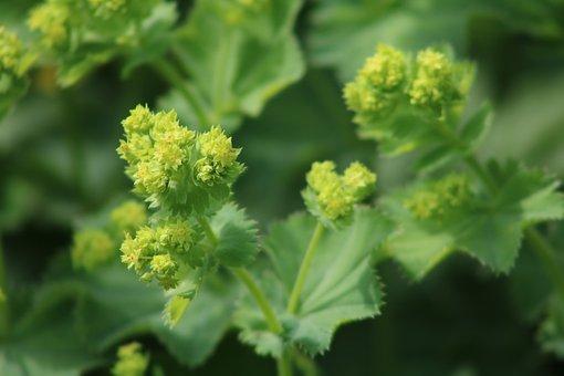 Frauenmantel, Yellow, Flower, Nature, Plant, Close