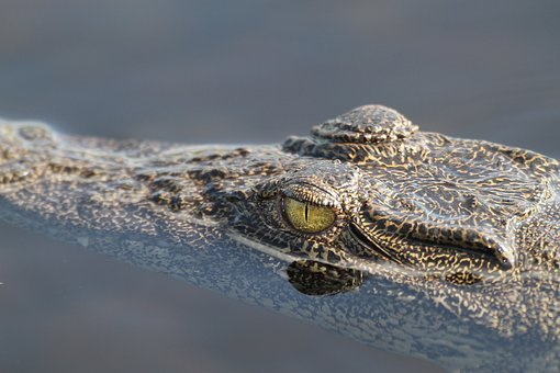 Crocodile, Wildlife, Africa, Nature, Dangerous, Eye