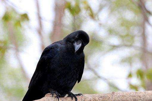 Crow, Bird, Living Nature, Animals, Nature, Outdoors