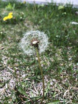Dandelion, Blooms, Spring, Green, Fresh, Growth