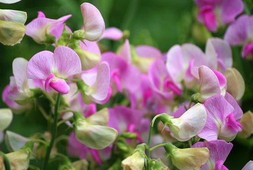 Sweet Pea Scented, Ornamental Plants, Dashing