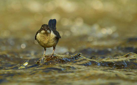 Dippers, Nature, River, Water