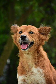 Dog, Brown Dog, Puppy, Happy Dog, Brown, Pet, Cute