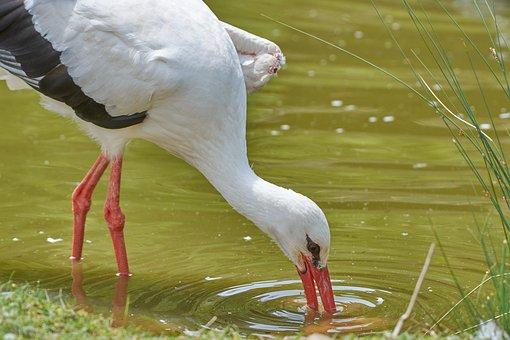 Stork, Fish, Eat, Bill, Rattle Stork, Water, Red Beak
