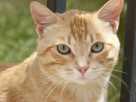 Cat, Housecat, Cat Blonde, Look, Pet, Feline