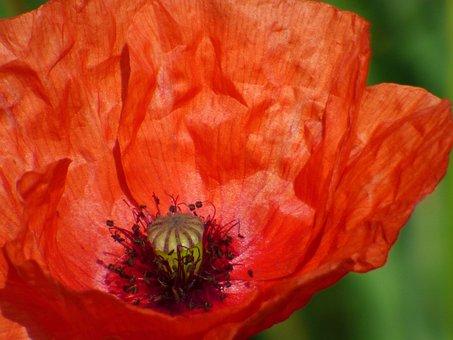 Poppy, Flower, Field, Fields, Red, Flowering, Spring