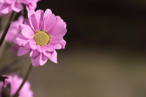 Flower, Pink, Pink Flower, Blossom, Bloom, Plant