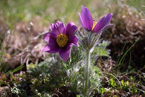 Anemone, Flower, Purple Anemone, Purple Flower, Flowers