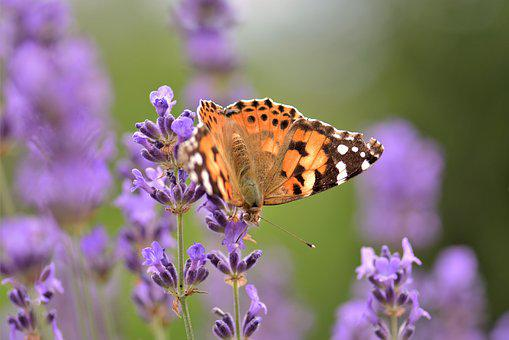 Butterfly, Lavender, Flower, Blossom, Bloom, Plant