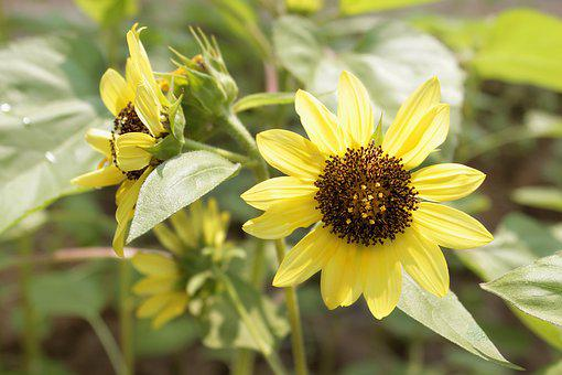 Sunflower, Flower, Y, Yellow, Nature, Summer, Spring