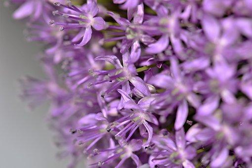 Ornamental Onion, Violet, Plant, Flower, Bloom, Close