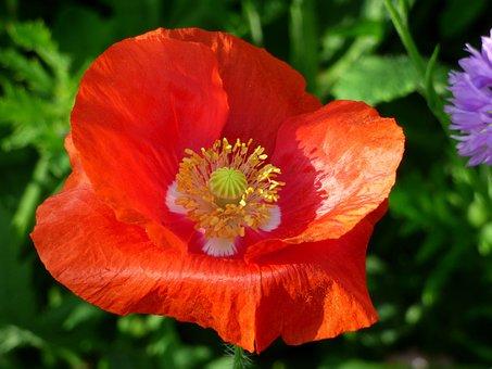 Flower, Poppy, Flowering, Nature, Field, Spring, Petals