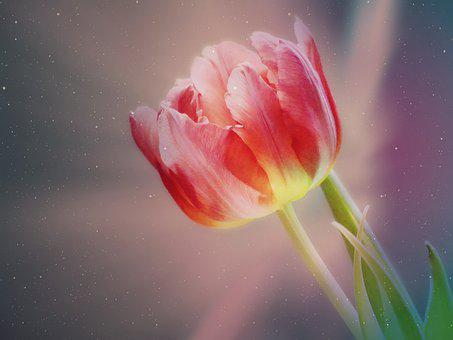 Tulip, Blossom, Bloom, Flower, Spring, Petals, Colorful