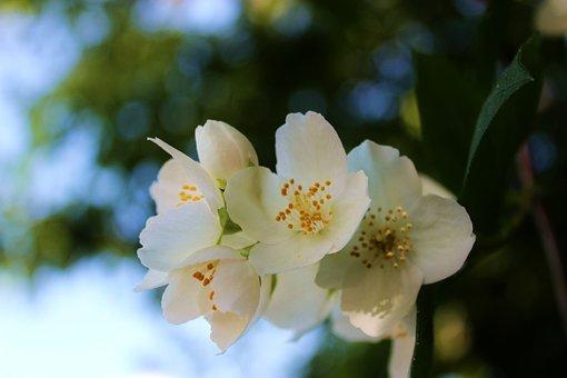 Jasmine, Jaśminowy, Blooming, Flowering, Plant