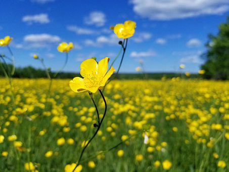 Flowers, Buttercup, Yellow, Meadow, Field, Nature