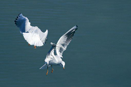 Lake, Seagull, Fly, Fight, Acrobatic