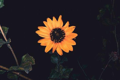 Sunflower, Leafs, Green Leafs, Focus, Yellow Flower