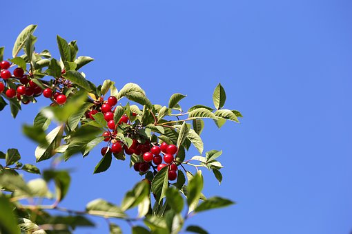 Red Cherry, Fruit, Food, Tree, Leaf, Fresh, Agriculture