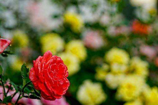 Roses, Bed Of Roses, Flowers, Fragrance, Petals, Nature