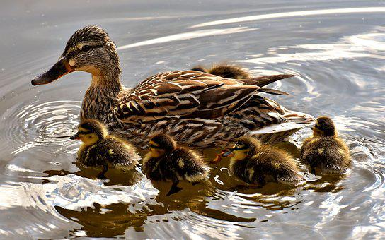 Mallard, Chicks, Swim, Small, Cute, Sweet, Funny