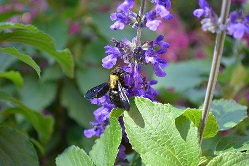 Bumblebee, Flower, Nectar, Pollen, Garden, Bee, Nature