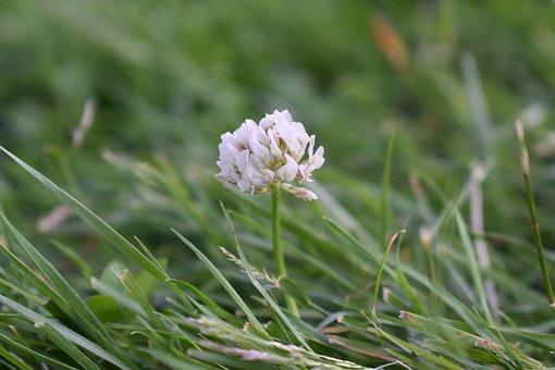 Flower, Clover, Grass, Nature