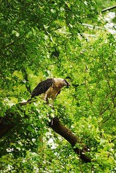 Bird Of Prey, Bird, Tree, Foliage, Green, Animals, Beak