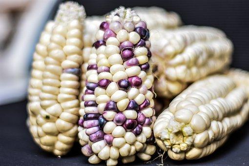 Corn, Cob, Agriculture, Gastronomy, Harvest