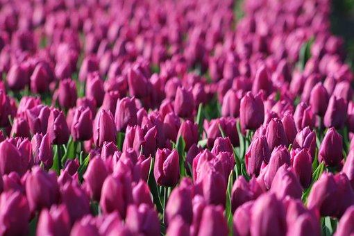 Tulips, Tulpenbluete, Holland, Purple, Violet