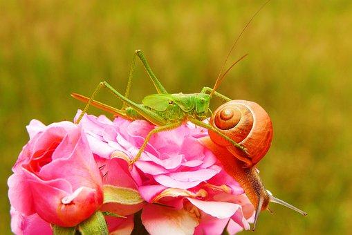 Tettigonia Viridissima, Insect, Molluscs, Snail, Rose