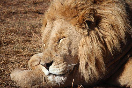 Lion, Sleeping, Wildlife, Mane, Carnivore, Big, King