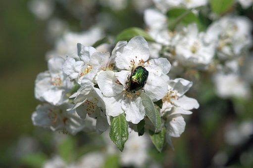 Kruszczyca Złotawka, The Beetle, Flower, Insect, Nature