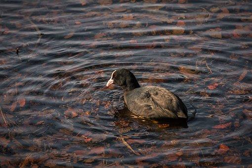 Eurasian Coot, Lake, Bird, Swimming, Nature, Animal