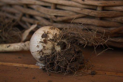 Onion, Land, Plant, Basket, Vegetable Garden