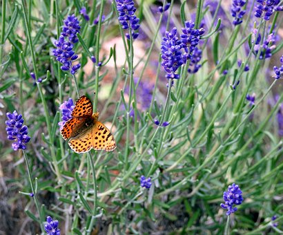 Lavender, Butterfly, Flower, Macro, Insect, Plant