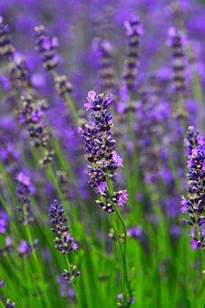 Lavender, Lavender Field, Purple, Flower, Mood