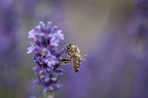 Bee, Insect, Lavender, Nature, Apis, Pollination