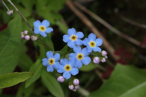 Forget-me-not, Little, Blue, Summer, Flower
